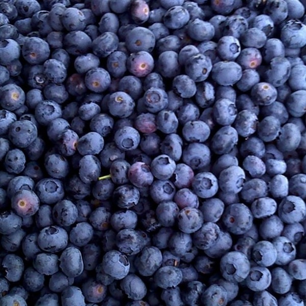 Today is opening day for blueberry picking at Herndon Hills Farm located at 7110 Massey Chapel Road/Barbee Rd in Durham. Their hours today are 7AM-noon. #trinitycommons #thisisNWRliving #gottobeNC #sofresh